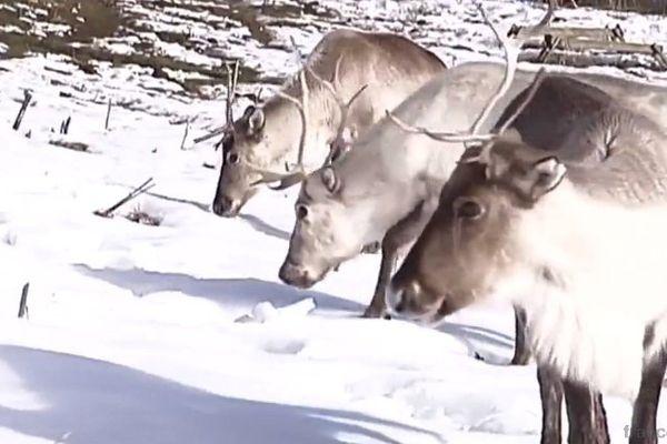 Les premiers animaux viennent de Suède, mais l'espèce se reproduit désormais en captivité dans le Jura.