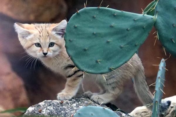 Ce chaton du désert vit à Lyon... Il est élevé au Parc de la tête d'Or. Il fera sans doute partie des animaux dont le quotidien sera observé par cette mission