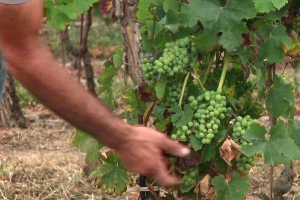 Vignes dans le nord Gironde