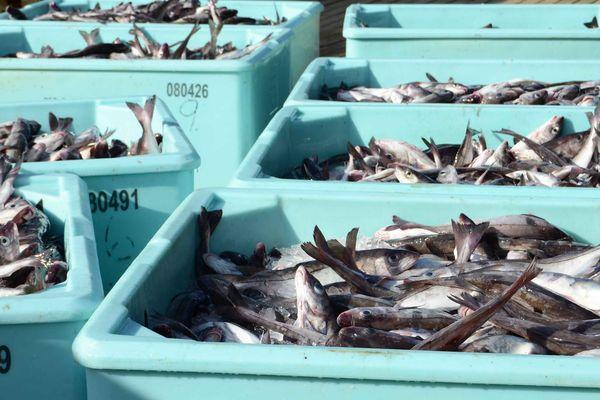 Le quota de cabillaud a été diminué pour la pêche en 2020