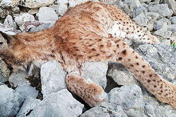 Une femelle lynx retrouvée morte mardi 17 mars dans le Jura. La troisième victime des hommes depuis le début de l'année dans le département.