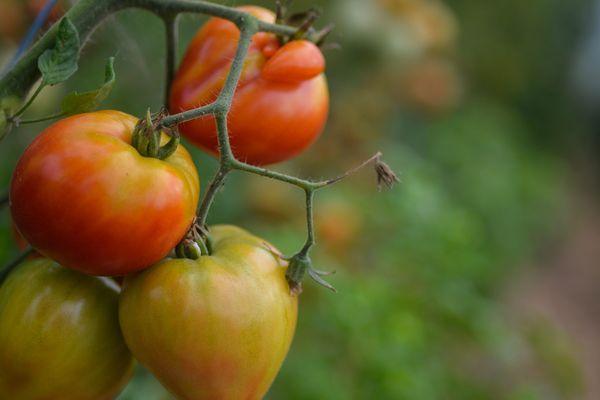 En cette fin mars, il est bien trop tôt pour récolter des tomates, mais il est encore temps d'en faire les semis.