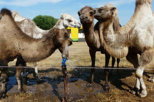 Le cirque franco-italien compte deux chameaux et deux dromadaires.