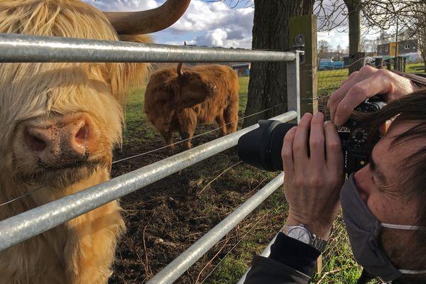 Les vaches Highland de Sotteville-lès Rouen se laissent approcher et aiment les caresses