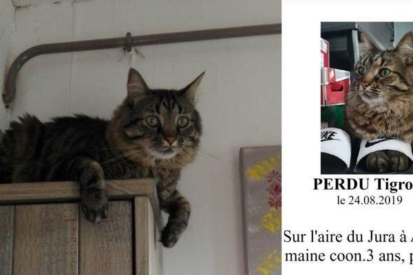 Tigrou est un Maine Coon, une race de chat caractérisée notamment par des poils mi-longs et une grande taille.