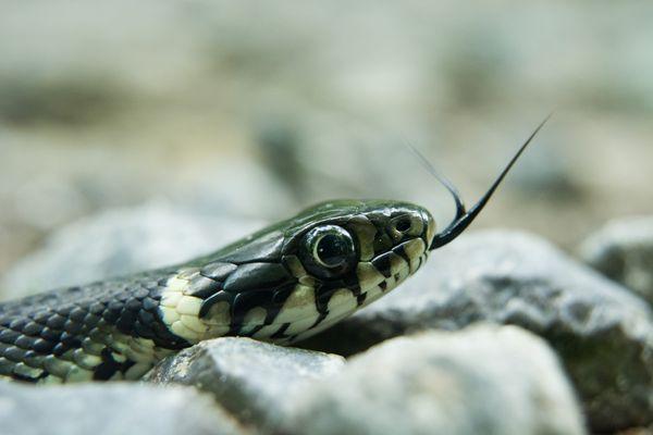 Une couleuvre à collier : peut-être le serpent que Saida Ifourah a trouvé en conduisant sa voiture (elle n'a pas eu le temps de l'identifier).