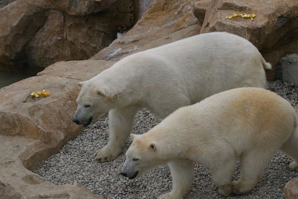 Marineland se défend de maltraiter ses deux ours.