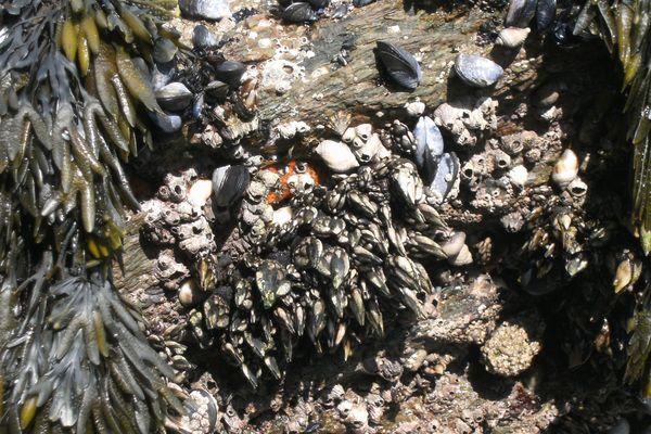 Des pouces-pieds, crustacés très prisés des Espagnols et des Portugais.