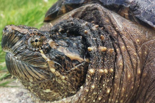 Le bec de la tortue serpentine peut être aussi tranchant qu'un rasoir
