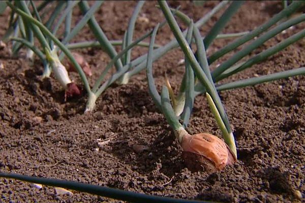 Les producteurs d'oignons en colère contre la chute des cours