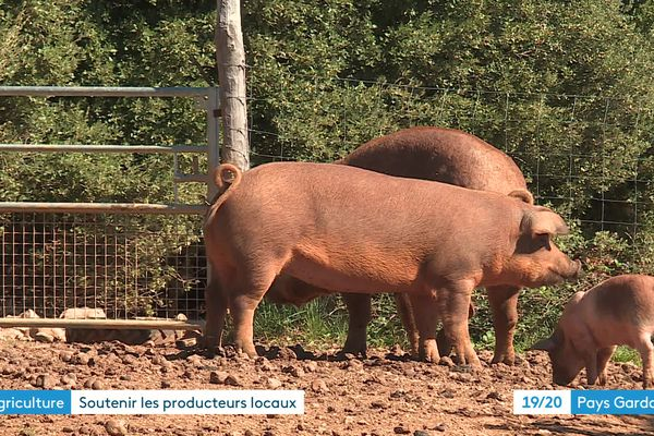 Elevage de porc fermier