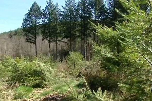 Cinq hectares de plantations de jeunes conifères ont été détruits à la tronçonneuse dans l'Yonne.