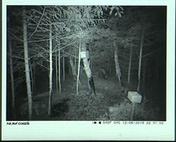 En juin 2019 en Lozère, des loups ont été pris par des pièges-photos à sangliers.