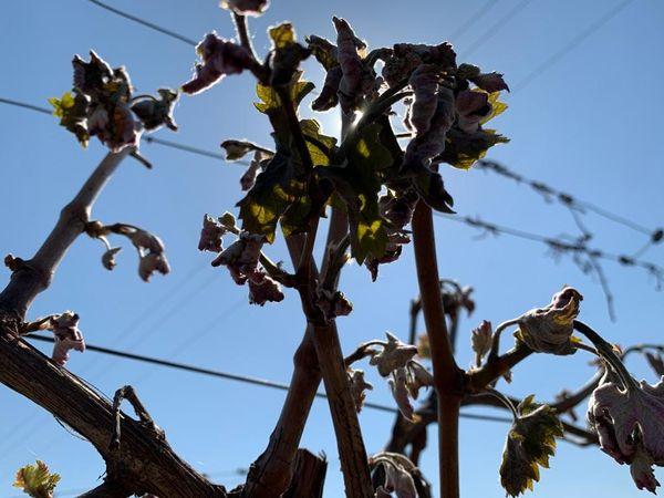 Des bourgeons gelés, c'est une récolte 2021 irrémédiablement compromise.