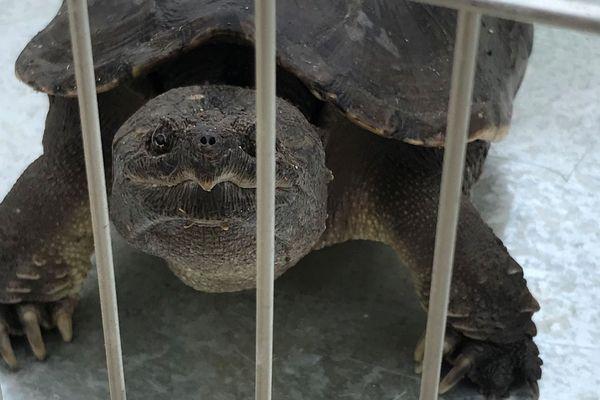 Cette tortue serpentine, une dangereuse femelle de 2 kilos 5 mesurant 30 centimètres, a été capturée par les pompiers dimanche matin à Saint-André, au sud de Perpignan, dans les Pyrénées-Orientales.