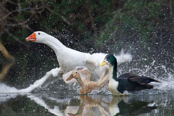 Une oie et deux canards, pris en chasse.