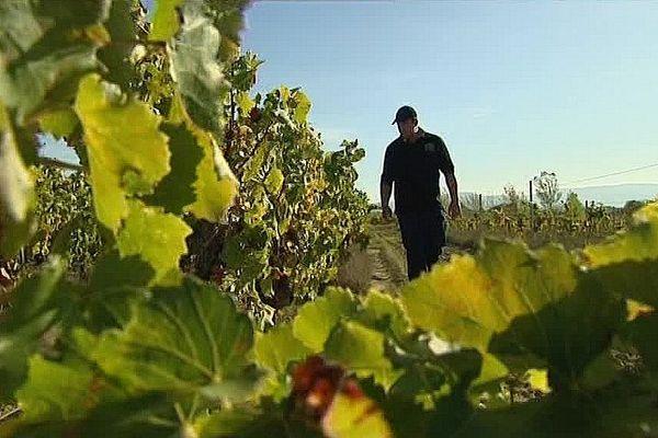 A Laure-Minervois, les viticulteurs accusent une baisse de production de 30 a 70% selon les parcelles.