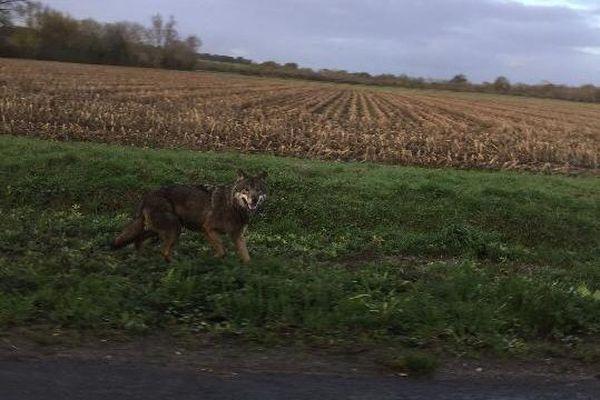 Le loup aperçu près de Saint-Saturnin-des-Bois en Charente-Maritime.