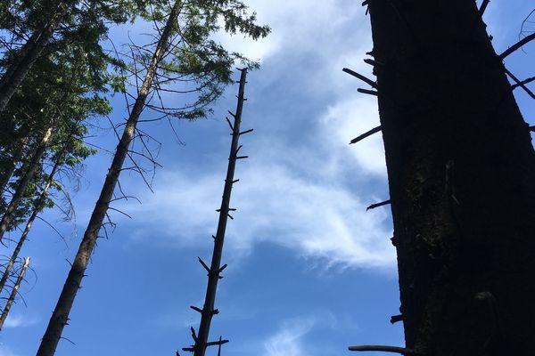 Les arbres touchés par les scolytes sont géolocalisés et répertoriés par les agents de l'ONF.