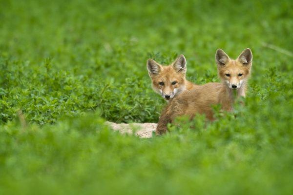 Vingt-deux renards ont été maîtrisés, ces derniers mois, par l'association de chasse de l'Ile-aux-Moines.