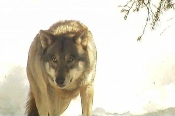 Le loup deviendra-t-il un gibier pour les chasseurs ?