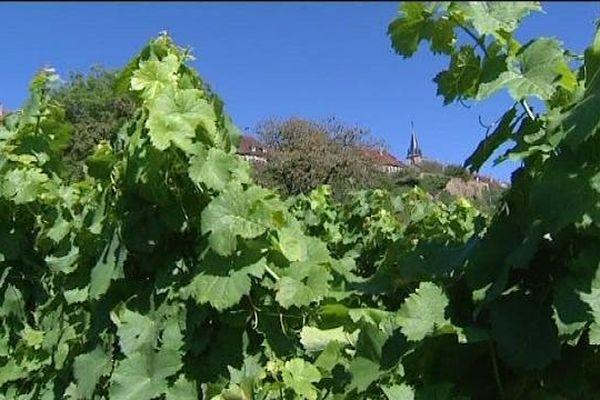 Les grappes sont loin d'être à maturité, mais les vignerons du Jura cherchent déjà les vendangeurs qui les cueilleront.
