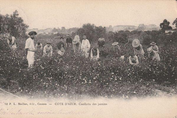 La cueillette du jasmin à Cannes
