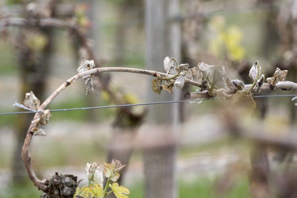 Jeune pousse de vigne gelée. Illustration.