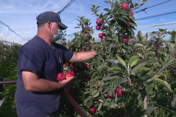 En Sarthe, la récolte des pommes bat son son plein, Oizé, le 31 août 2020