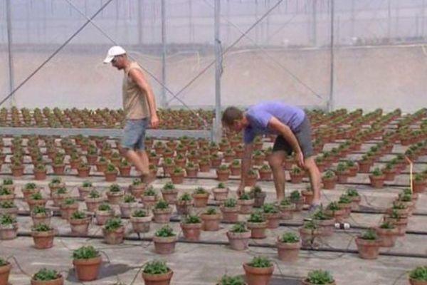 Les ouvriers travaillent essentiellement sous des serres où la température dépasse les 40 degrés.