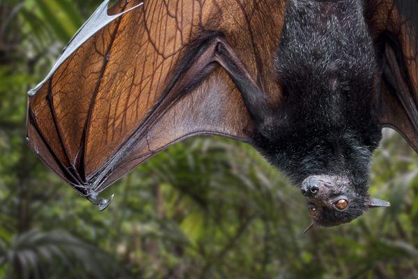 Pour lutter contre les moustiques et pour préserver l'espèce, des nichoirs à chauve-souris ont été installés dans les Alpes-de-Haute-Provence. Sur cette photo, cette chauve souris de Madagascar est plus grosse que la pipistrelle.