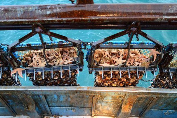 Les dragues qui permettent aux coquilliers de pêcher la Saint-Jacques