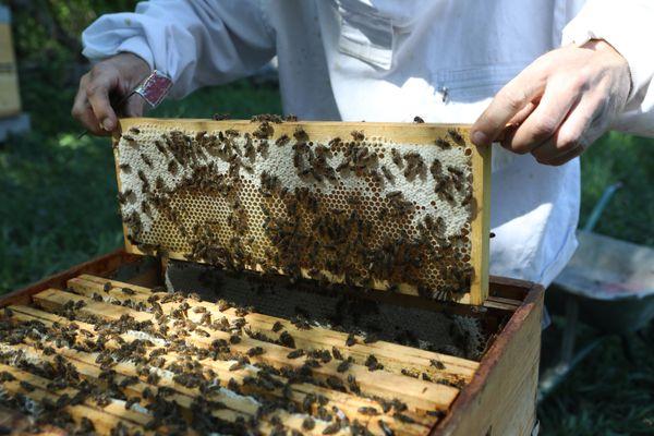 L'année 2020 commence bien pour les apiculteurs avec une bonne récolte de miel de printemps.
