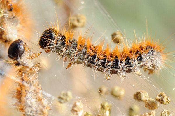 Les poils orange de la chenille sont à l'origine des démangeaisons