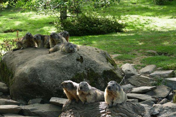 Le réveil des marmottes au Parc animalier des Pyrénées.