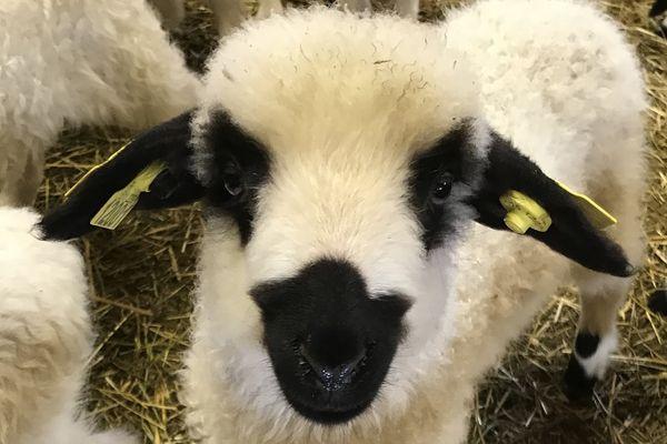 """Un agneau de la race """"Thônes et Marthod"""", typiquement savoyarde, reconnaissable à ses extrémités noires."""