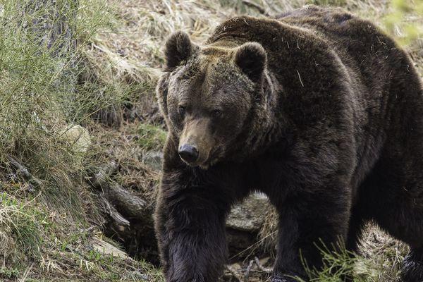 L'ours serait responsable de la mort de plus de 400 brebis en un mois dans les Pyrénées.