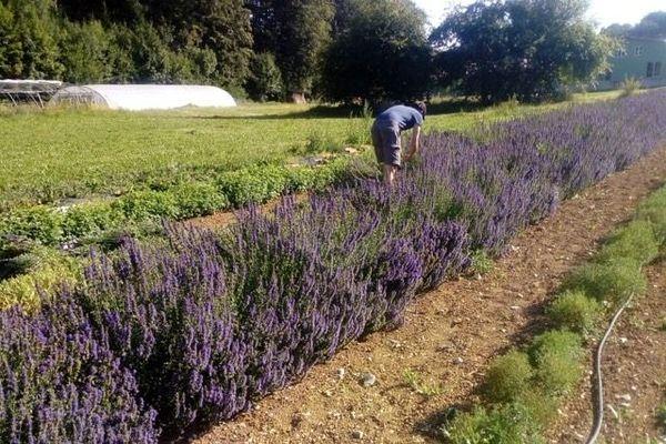L'hysope, aux fleurs bleu-violet se récolte à la même période que l'absinthe, fin juillet.