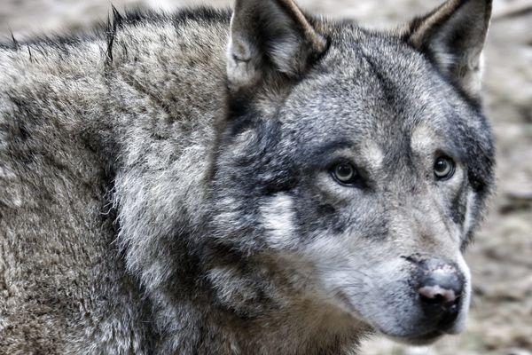 Depuis plusieurs années, les éleveurs haut-marnais sont victimes d'attaques de loup.