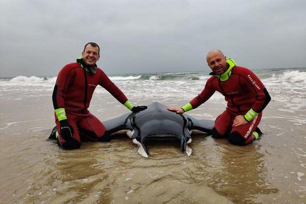 Les plongeurs du SDIS de l'Hérault ont sauvé une raie mobula d'environ 150 kilos... Ce genre de rencontre est rare dans l'Hérault !