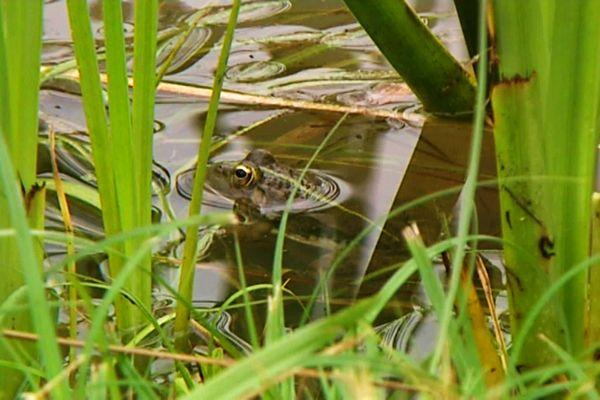 Rififi au pays des grenouilles de Grignols