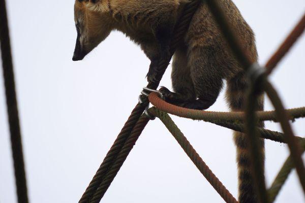 Un coati jouant dans des cordages