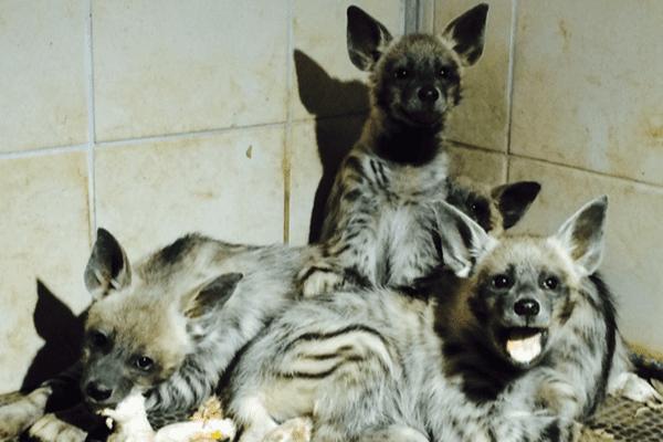 4 bébés hyènes nés en captivité, c'est une première en Europe