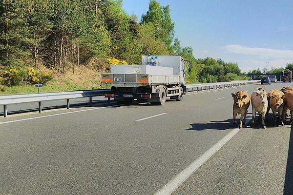 """Un troupeau de veaux avait déjà pris l'A75 en contre-sens mardi matin près du lieu-dit """"le Buisson""""."""