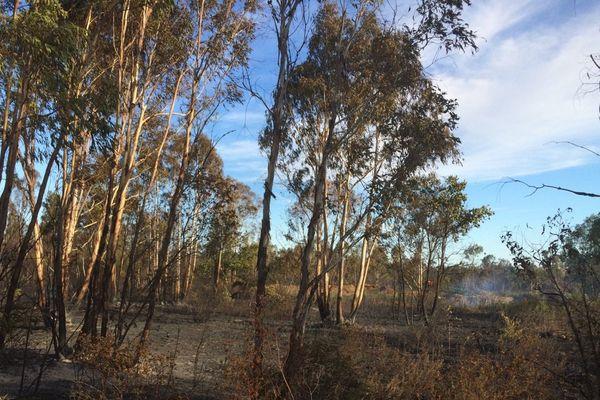 Un incendie a ravagé 9 hectares de maquis et de forêt d'eucalyptus, à Aléria, samedi après-midi.