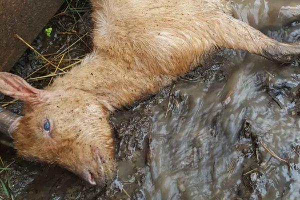 Cette chèvre gisant dans la boue a été prise en photo par un ancien bénévole d'Artémis.
