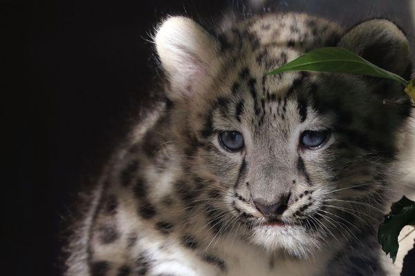 L'un des deux mâles nés début août à la Ménagerie du Jardin des plantes.