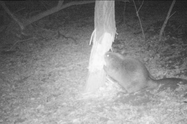 Le castor a pu être filmé en pleine action par un piège photographique installé par les agents de l'Office Nationale de la Chasse et de la Faune Sauvage