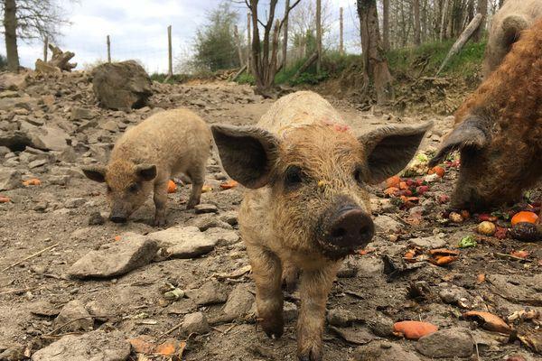 """""""Roberta"""" a mis bas six cochons laineux au parc animalier d'Ecouves"""