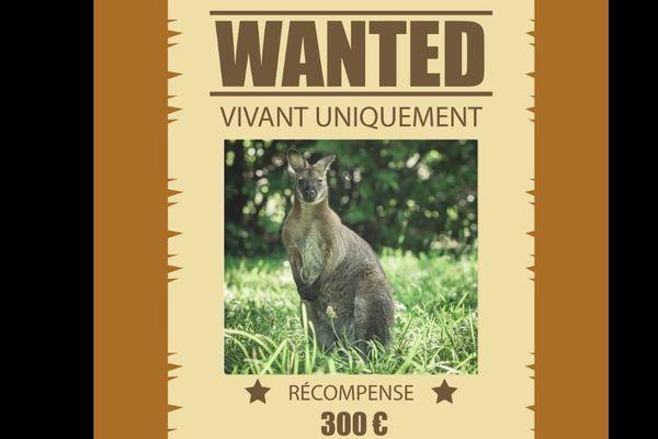 Sur les réseaux sociaux, le propriétaire du wallaby offre une récompense